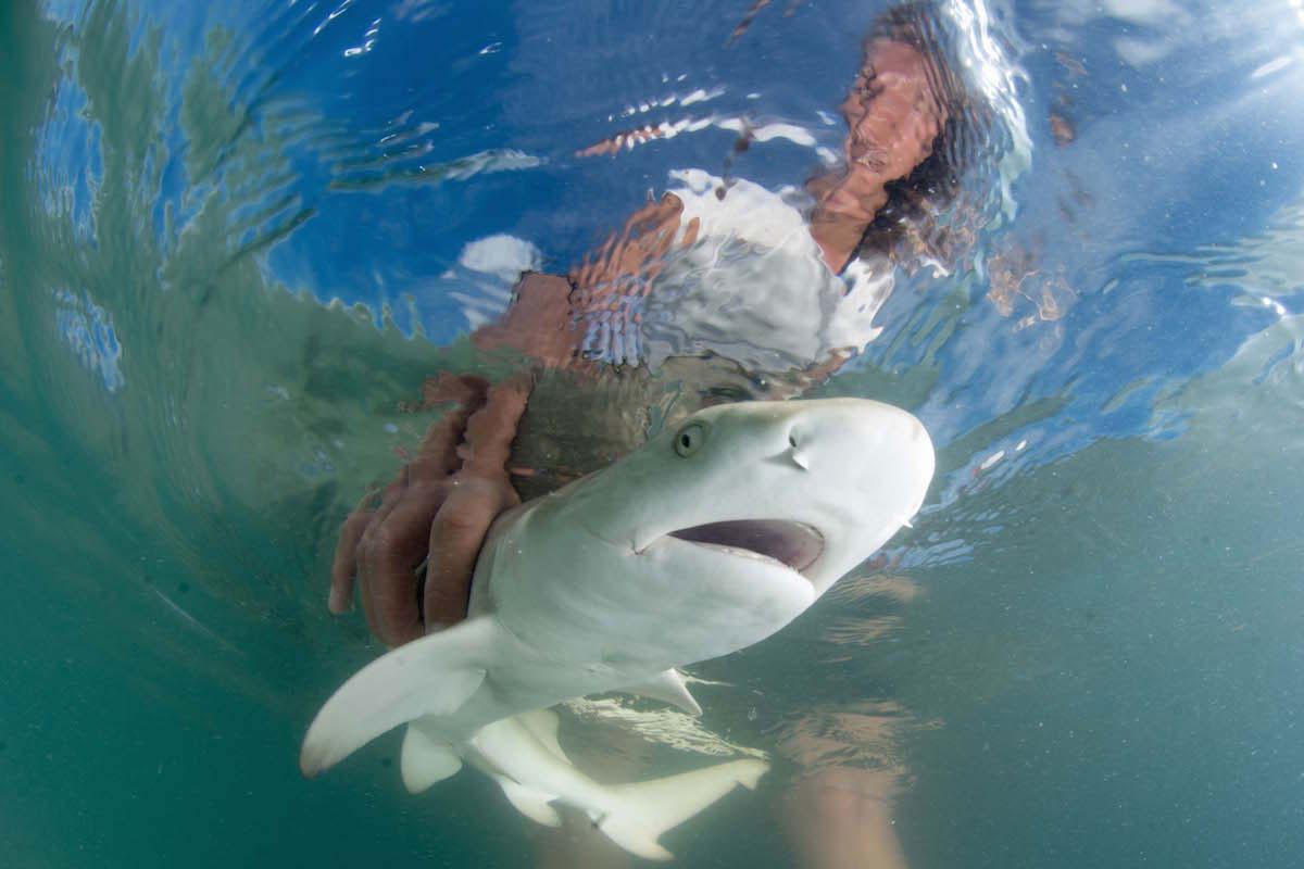 WeideliOrnella baby shark