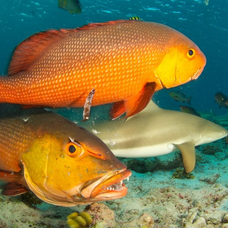 The Bohar snapper is a species of snapper native to the Indian Ocean from the African coast to the western Pacific Ocean. Adults often form large schools on the outer reefs or above sandy areas, mainly for spawning. They can reach a length of 90 centimetres and are one of the top predators in their ecosystem. Photo by Rainer von Brandis | © Save Our Seas Foundation