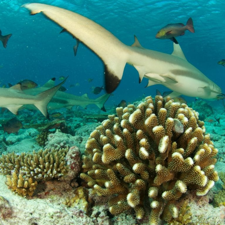 A blacktip reef shark swims over a mound of wart coral. The SOSF–DRC runs a long-term programme that monitors the health of D'Arros' coral reefs. Low-lying sandy islands are more prone to the effects of global warming than any other environment. Although sea-level rise is the most obvious threat, increasing sea temperatures accelerate erosion and result in habitat-altering sand shifts. Coral reefs are very important for stabilising the ocean floor. Photo by Rainer von Brandis | © Save Our Seas Foundation