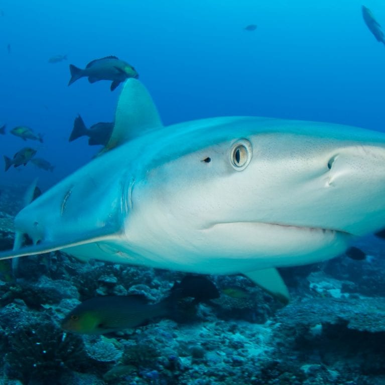 Skittish grey reef sharks are the wardens of the reef. Torpedo-shaped and monochrome, they are regularly encountered patrolling around D'Arros Island. Photo by Rainer von Brandis | © Save Our Seas Foundation