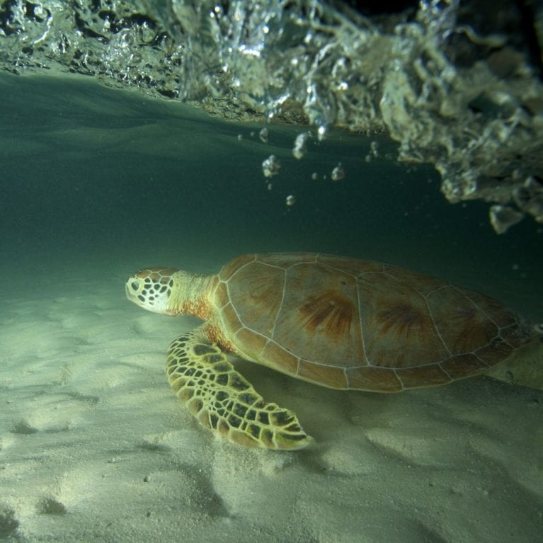 A green turtle in the shallows at St Joseph lagoon. Before 1968, when the export of green turtle products was banned in the Seychelles, thousands of these gentle reptiles were killed for turtle soup. Photo by Christopher Boyes | © Save Our Seas Foundation