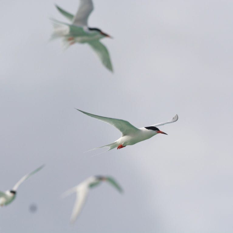 St Joseph Atoll is the second largest breeding site for roseate terns <i></noscript>Sterna dougallii</i> in the Seychelles, hosting up to 500 pairs annually. The terns' diet consists mainly of small fish, which they catch by plunge-diving. The species is widespread and will often migrate between Africa and England. Photo by Rainer von Brandis | © Save Our Seas Foundation