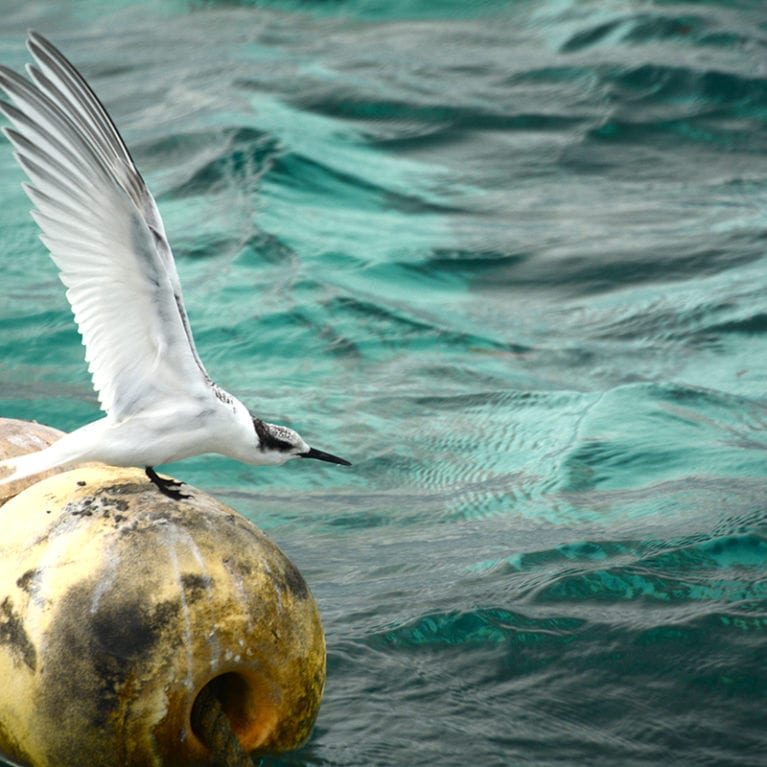 A juvenile sooty tern sits on the mooring buoys in the channel at the entrance to St Joseph's Atoll, waiting for its parents to bring its next meal. These birds only come to land to breed and can stay out at sea for years at a time. Photo by Philippa Ehrlich | © Save Our Seas Foundation