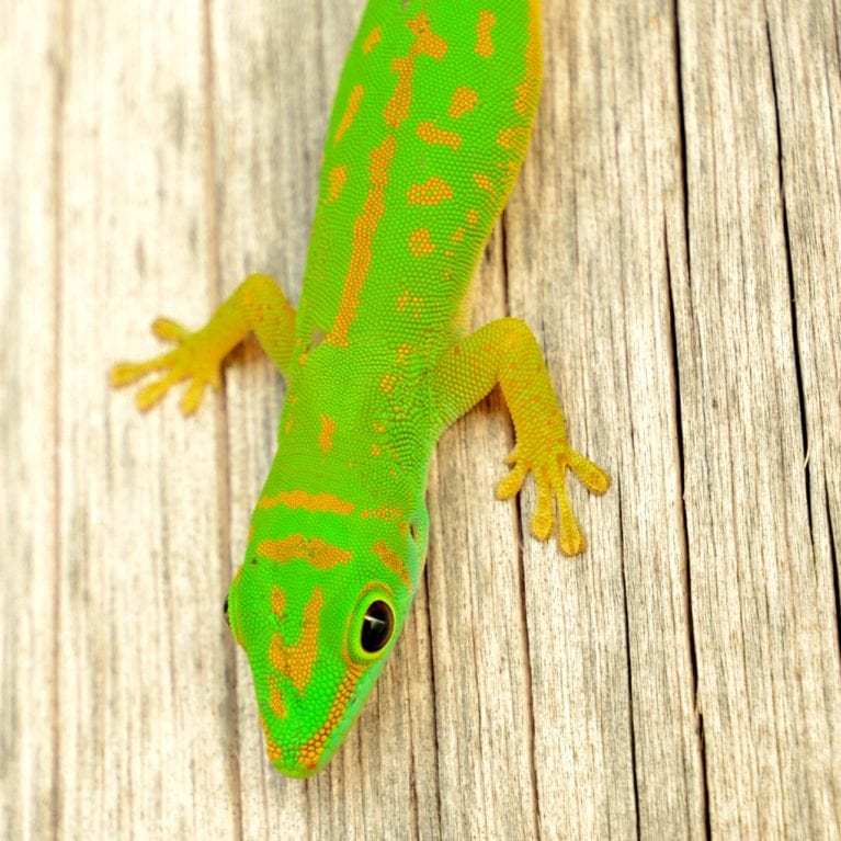 Seychelles small day geckos are commonly seen scuttling up tree trunks and through the undergrowth on D'Arros Island. These small, luminous green reptiles are endemic to the Seychelles. Photo by Philippa Ehrlich | © Save Our Seas Foundation