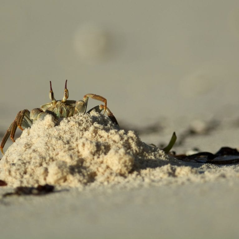 A ghost crab looks out from a small sand heap. These semi-terrestrial crabs are common in tropical and subtropical regions throughout the world, inhabiting deep burrows in the intertidal zone. The name 'ghost crab' comes from their nocturnal behaviour and generally pale coloration. Photo by Rainer von Brandis | © Save Our Seas Foundation