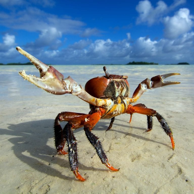 A one-eyed land crab <i></noscript>Cardisoma carnifex</i> points to the sky at low tide. Thousands of these large crustaceans scuttle across the islands surrounding St Joseph lagoon. Photo by Rainer von Brandis | © Save Our Seas Foundation
