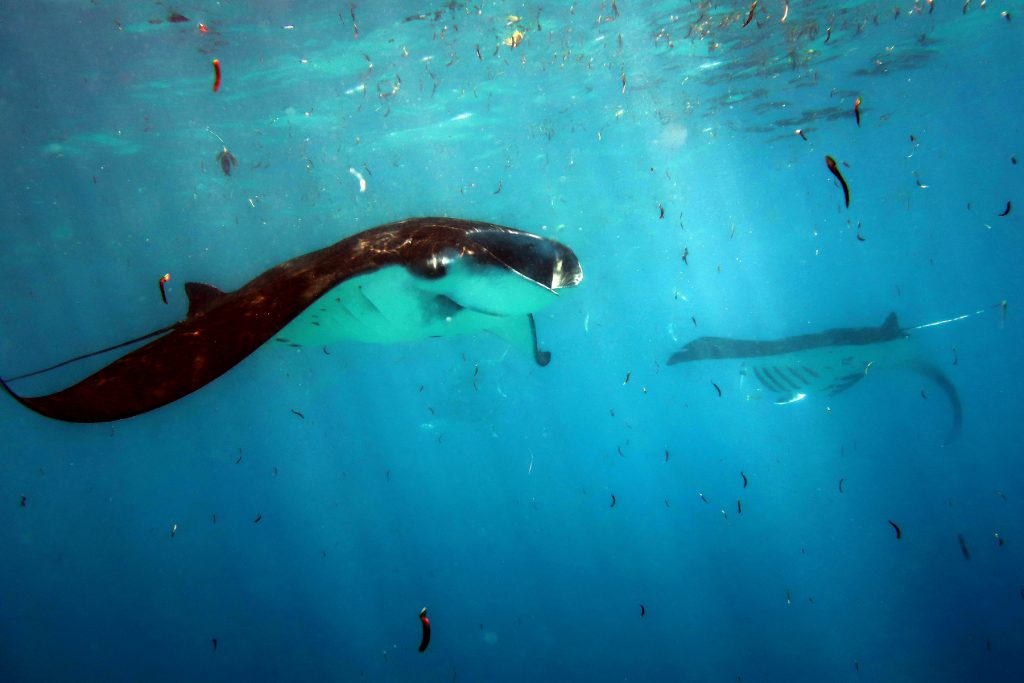 Manta feeding plankton D'Arros