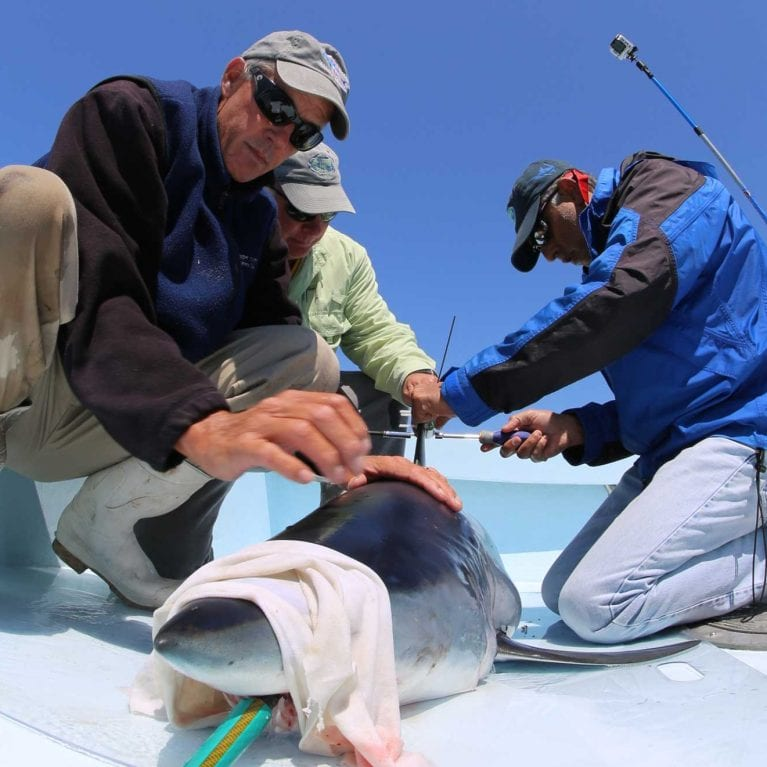 Professor Mahmood Shivji, director of the SOSF–Shark Research Center, attaches a SPOT satellite tag to a shortfin mako shark. Photo by G. Schellenger/GHOF