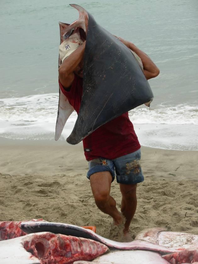 Liliana Ayala - Previous reports of Mobulid landing in Peru 1