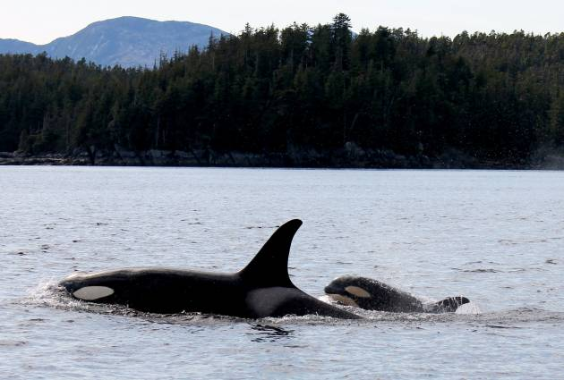 Janie Wray - Orca Season Begins with a New Calf 1