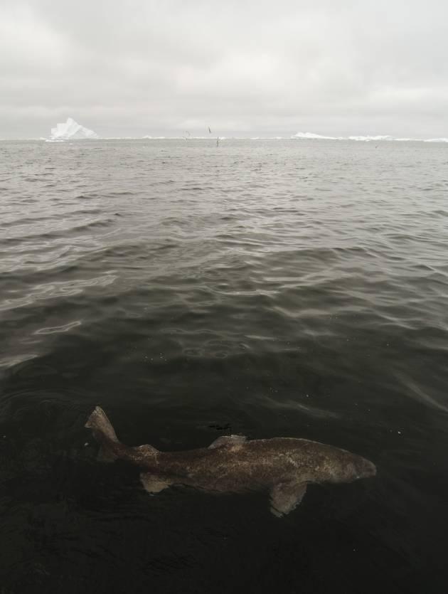 Peter Bushnell - Greenland Shark Expedition 1