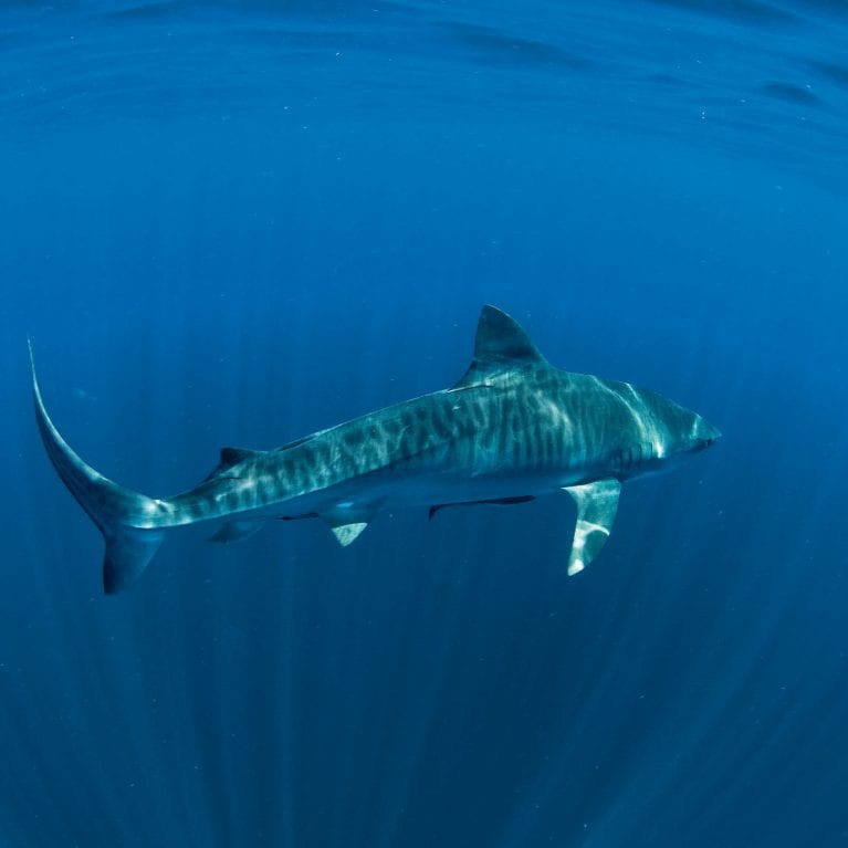 Tiger sharks, once thought to be coastal predators, are revealing that they spend much of their time in the open ocean.