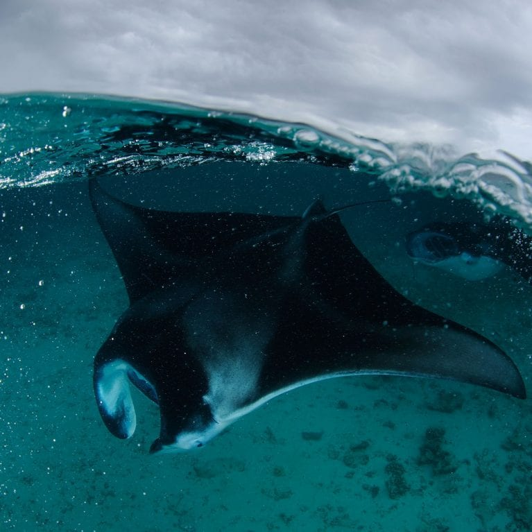 As the monsoon rages above, a manta ray glides below, lapping up the plankton-rich waters. © THOMAS P. PESCHAK