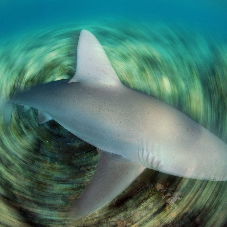 A Galapagos shark speeds across a coral reef looking for a meal in the Mozambique Channel Juveniles prefer reef fish and graduate to a diet of rays and other sharks as adults. © THOMAS P. PESCHAK