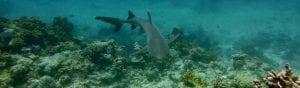 RIZZARI Justin - Coral reef sharks