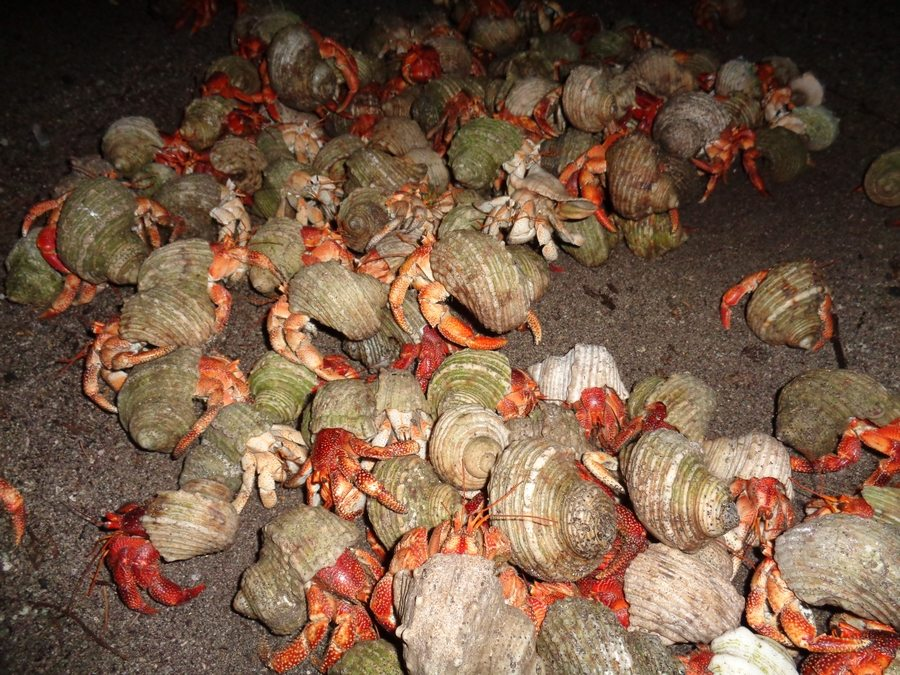 Back at camp, hermit crabs have to be avoided with every step.