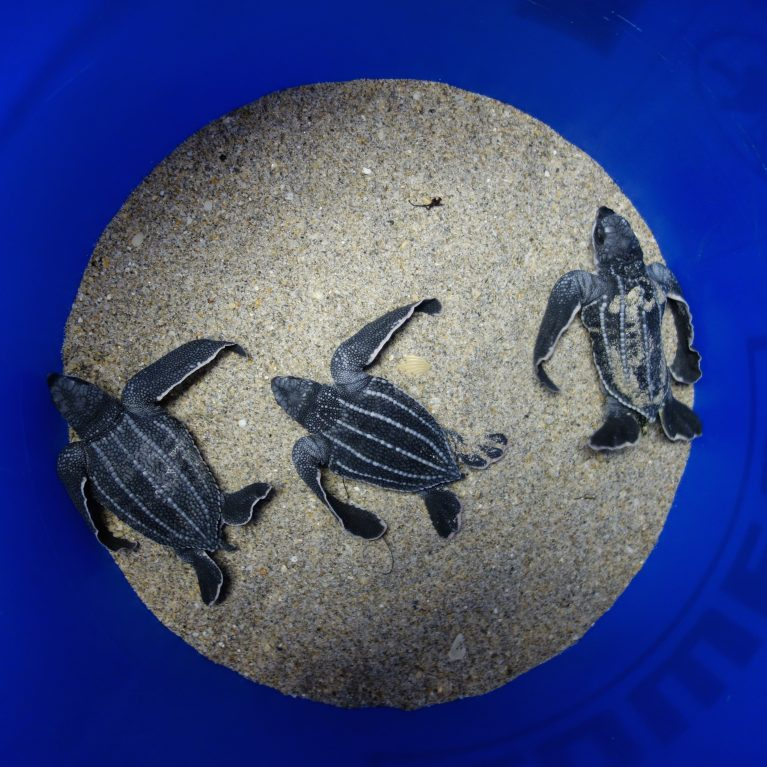 These three leatherback hatchlings are awaiting release They are stragglers left behind in the nest after their clutch-mates emerged They will get a chance to use their huge flippers later when they are taken for release. © Photo by Michael Scholl | Save Our Seas Foundation
