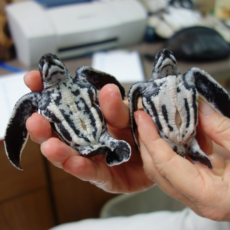 Leatherbacks have unique colouration Their top shells are black with white lines and their bottom shells have black lines The baby turtle on the right is a straggler leatherback that didn't completely hydrate and unfold after coming out of the egg The turtle on the left is normal. © Photo by Michael Scholl | Save Our Seas Foundation