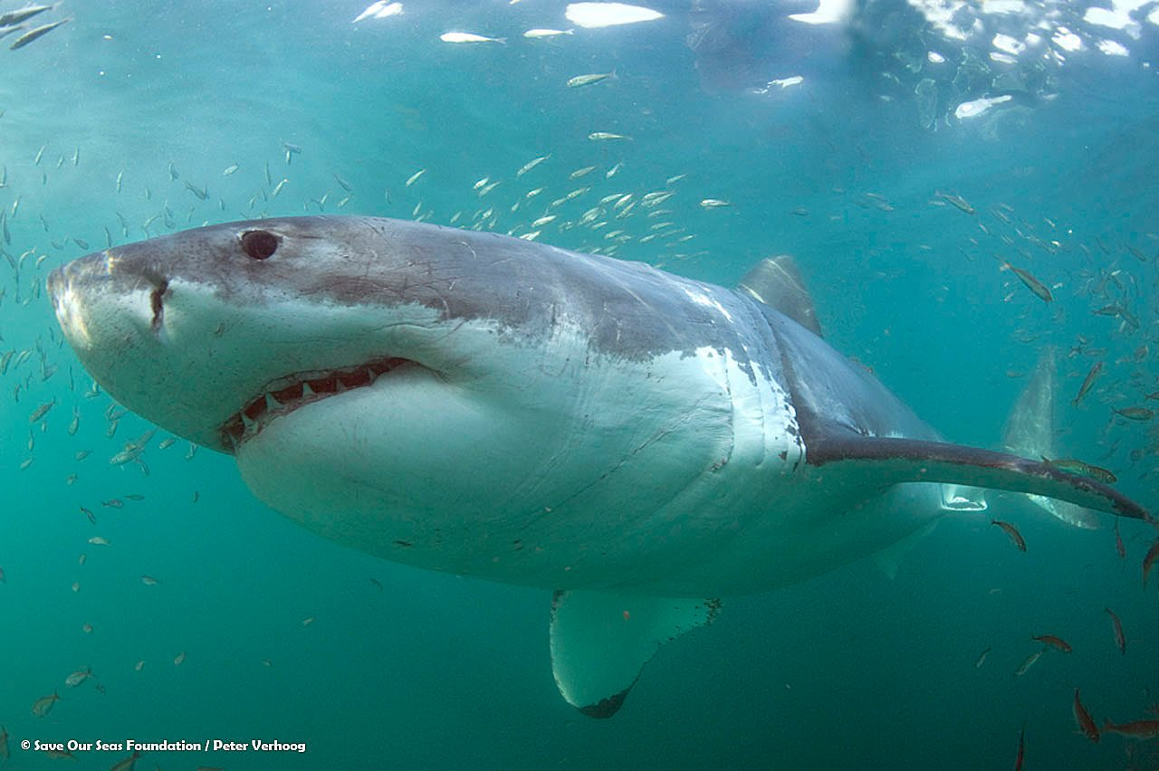 A white shark underwater. Photo © Save Our Seas Foundation/Peter Verhoog