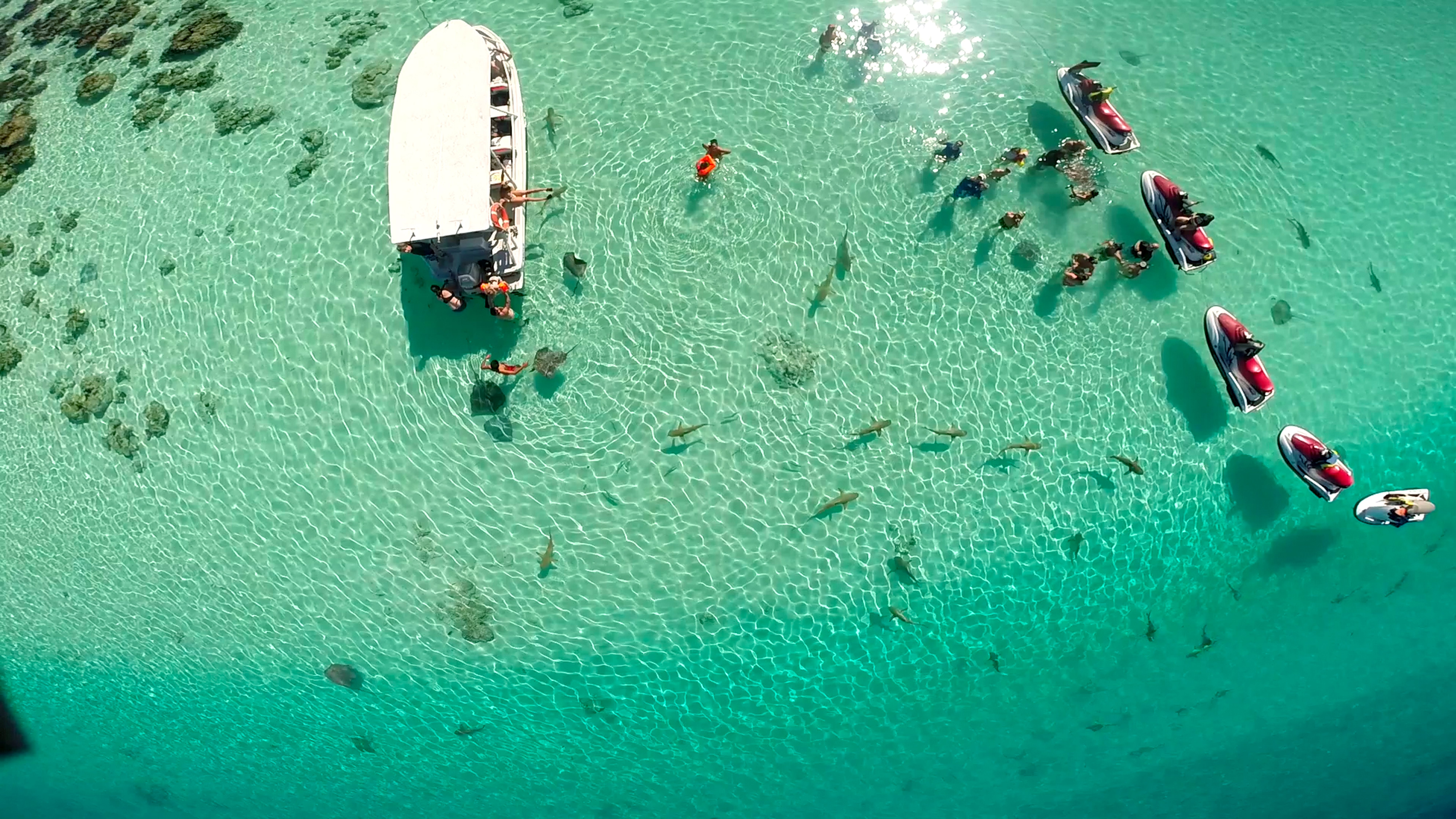 Sharks and rays are a tourist attraction in Moorea's lagoon.