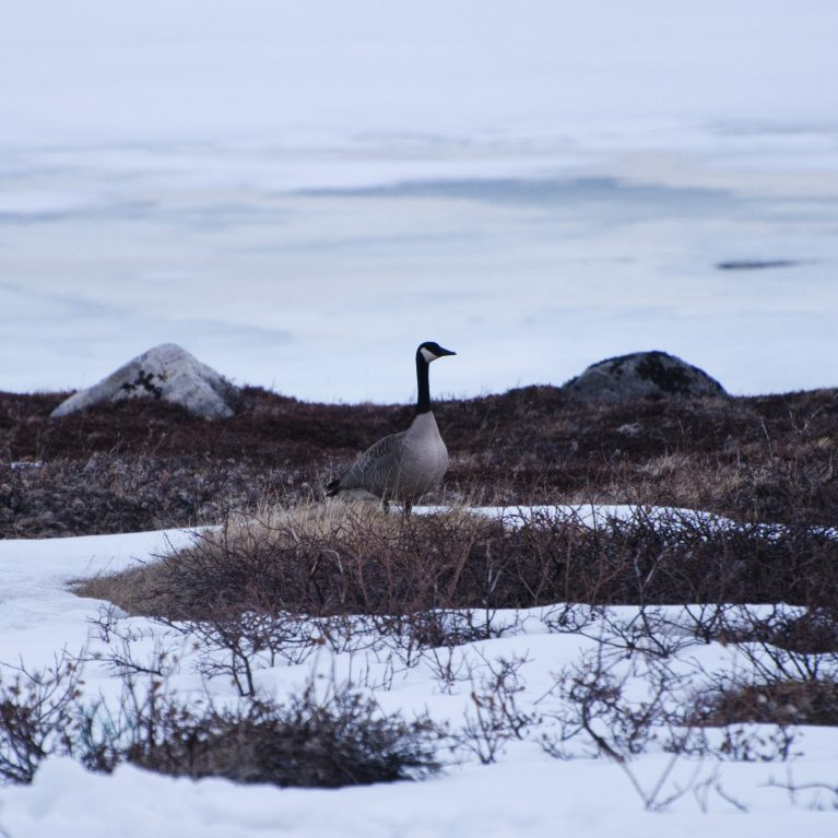 Many birds migrate to Greenland in spring to breed, as there are few terrestrial predators and good feeding grounds This Canada goose has just arrived on the large grass meadow in front of the Arctic Station, where small ponds soon will appear as the snow melts. © Photo by Julius Nielsen