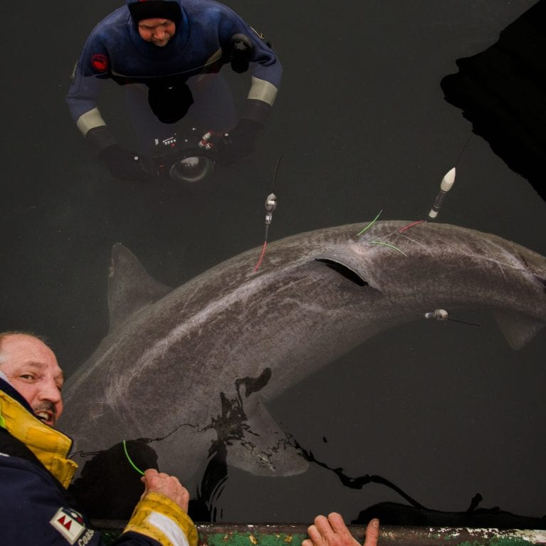A female Greenland shark, 2.9 metres in length, with three satellite tags attached As these sharks mostly occupy waters where no light is available, measurements of light intensity at a certain depth at a certain time cannot be used to estimate the geo-location (as it can, for example, with tunas) To enable researchers to learn more about Greenland shark migration routes, three tags mounted on the sharks release at different times. Photo © Julius Nielsen