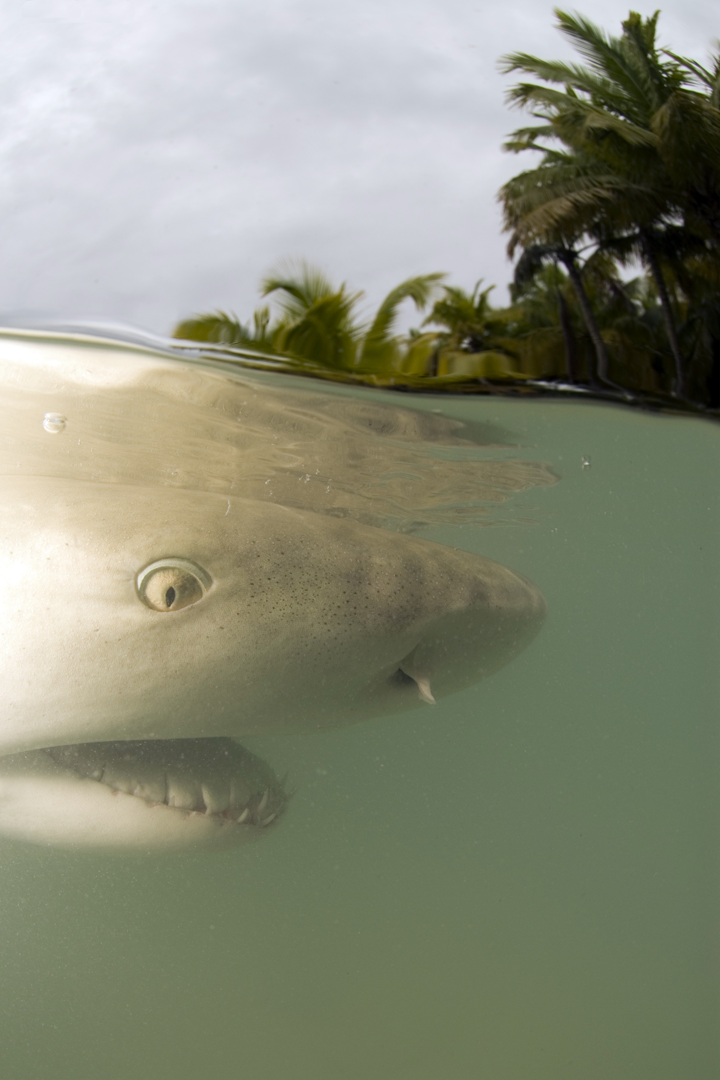 A common sight for the atoll researchers! Sicklefin lemon sharks constantly patrol the shallows of the Atoll in search of rays and fish.