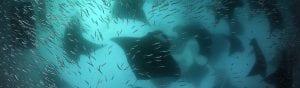 STEVENS Guy - Maldives Manta Rays