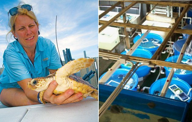 Left: Miles off the coast of Boca Raton, Jeanette Wyneken holds a young loggerhead turtle that will be sent back to the ocean with a transmitter attached to help gather data on the elusive sea turtles. (Photo by Jim Abernethy) Right: Overview of the FAU laboratory at Gumbo Limbo Nature Center in Boca Raton.