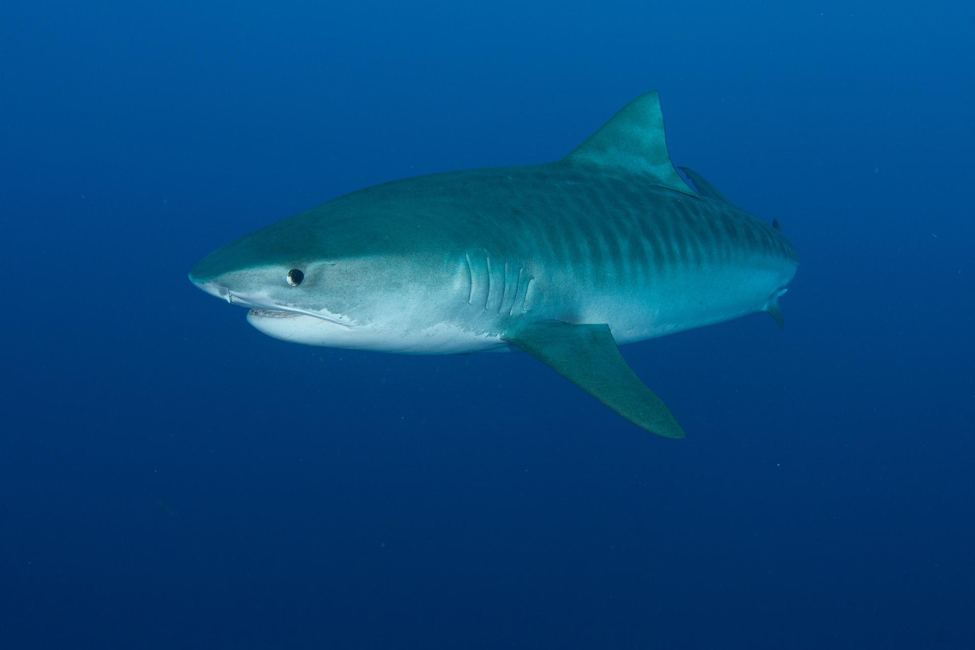 DALY ryan - cosmopolitan shark tiger shark
