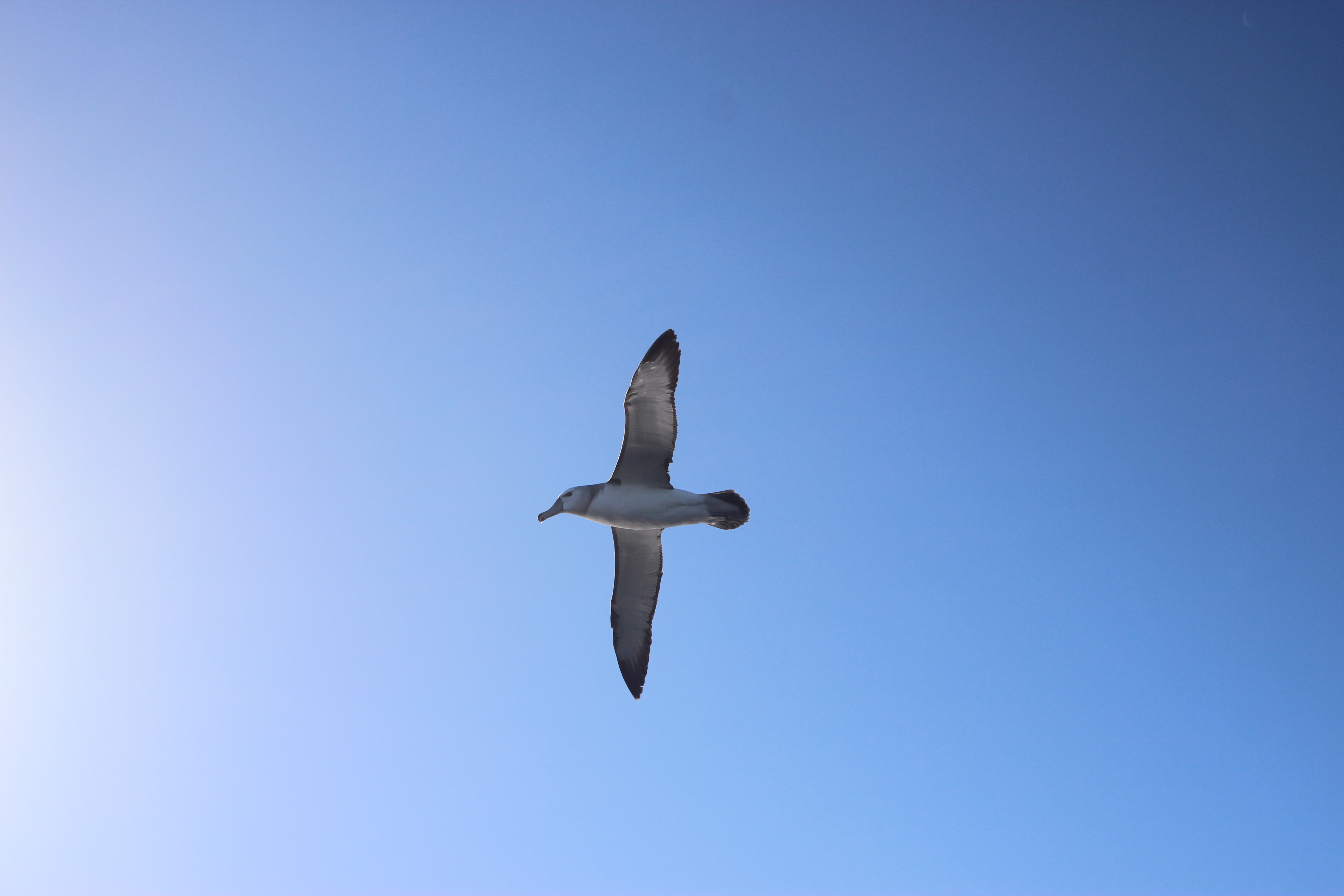 An albatross offshore at Quoin Point.