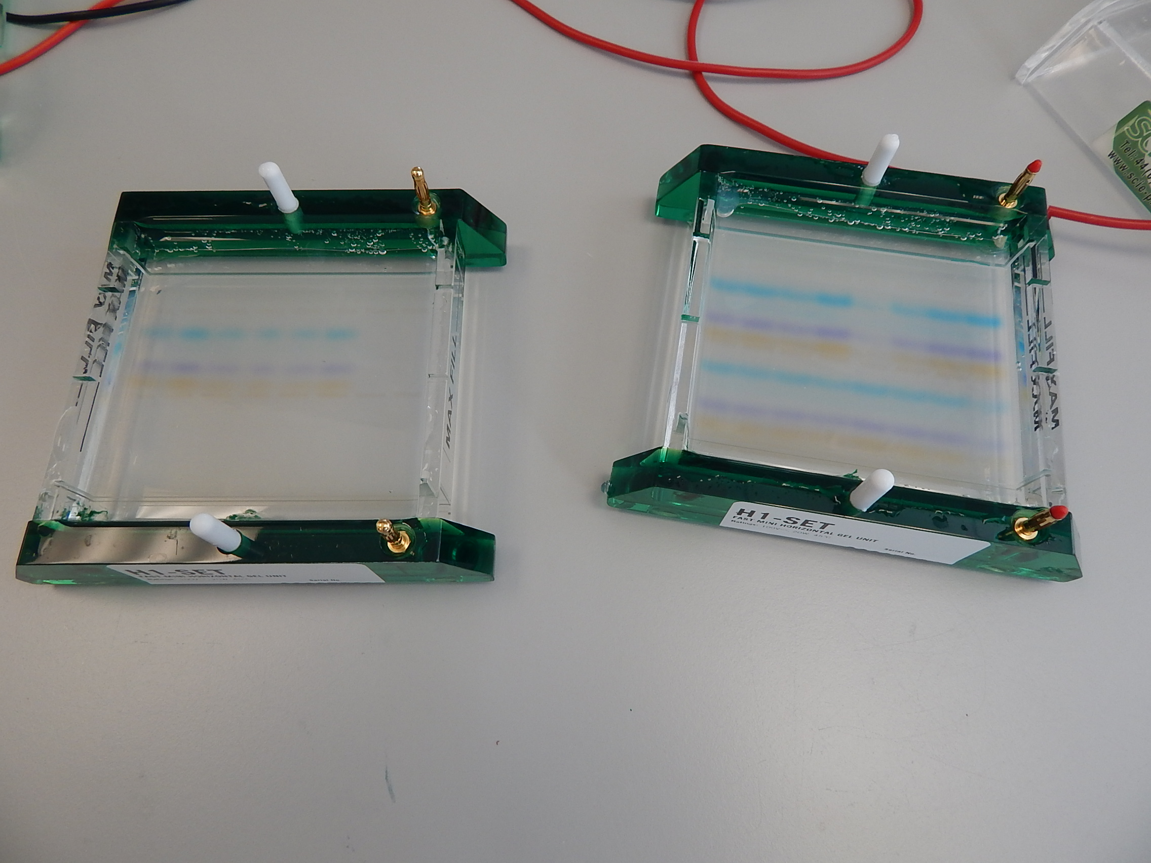 When the gel is run, DNA fragments have moved through at different rates, according to size.