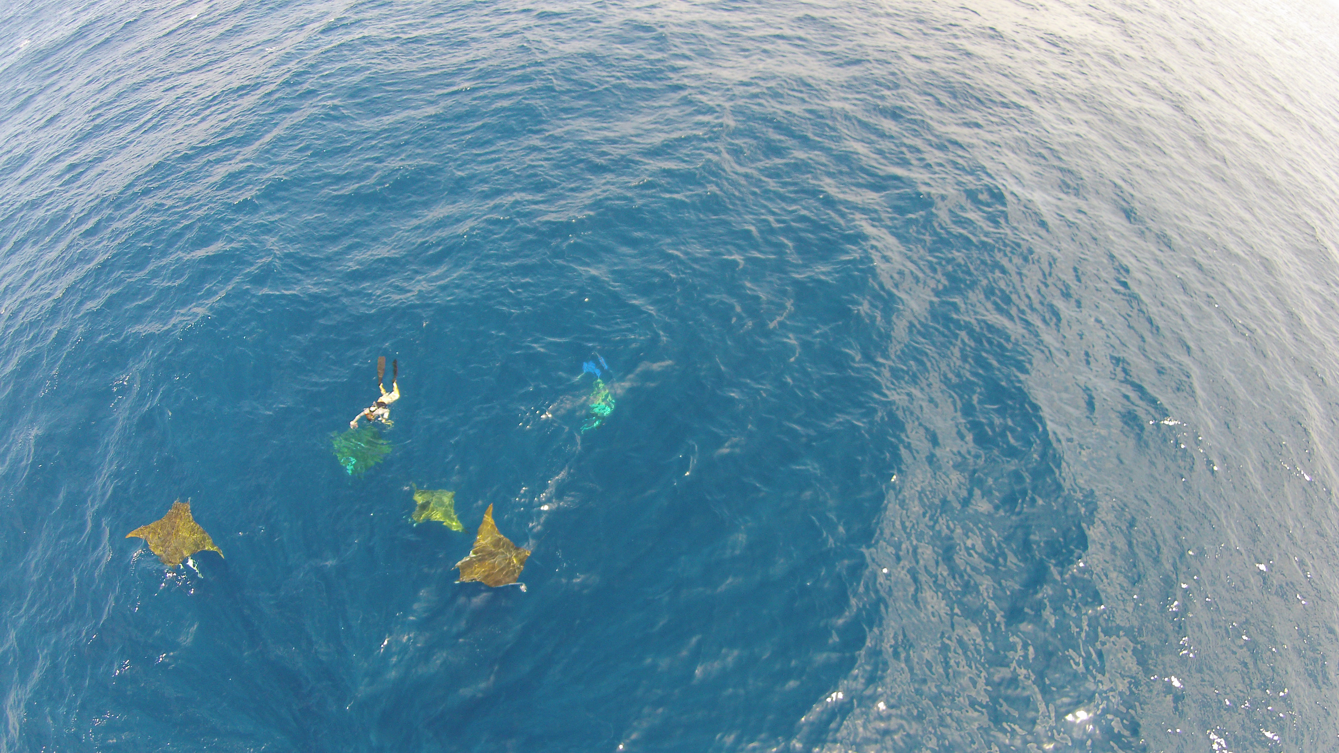 Researchers Sibele Mendonça and Bruno Macena interacting with a group of four Chilean devil rays Mobula tarapacana.