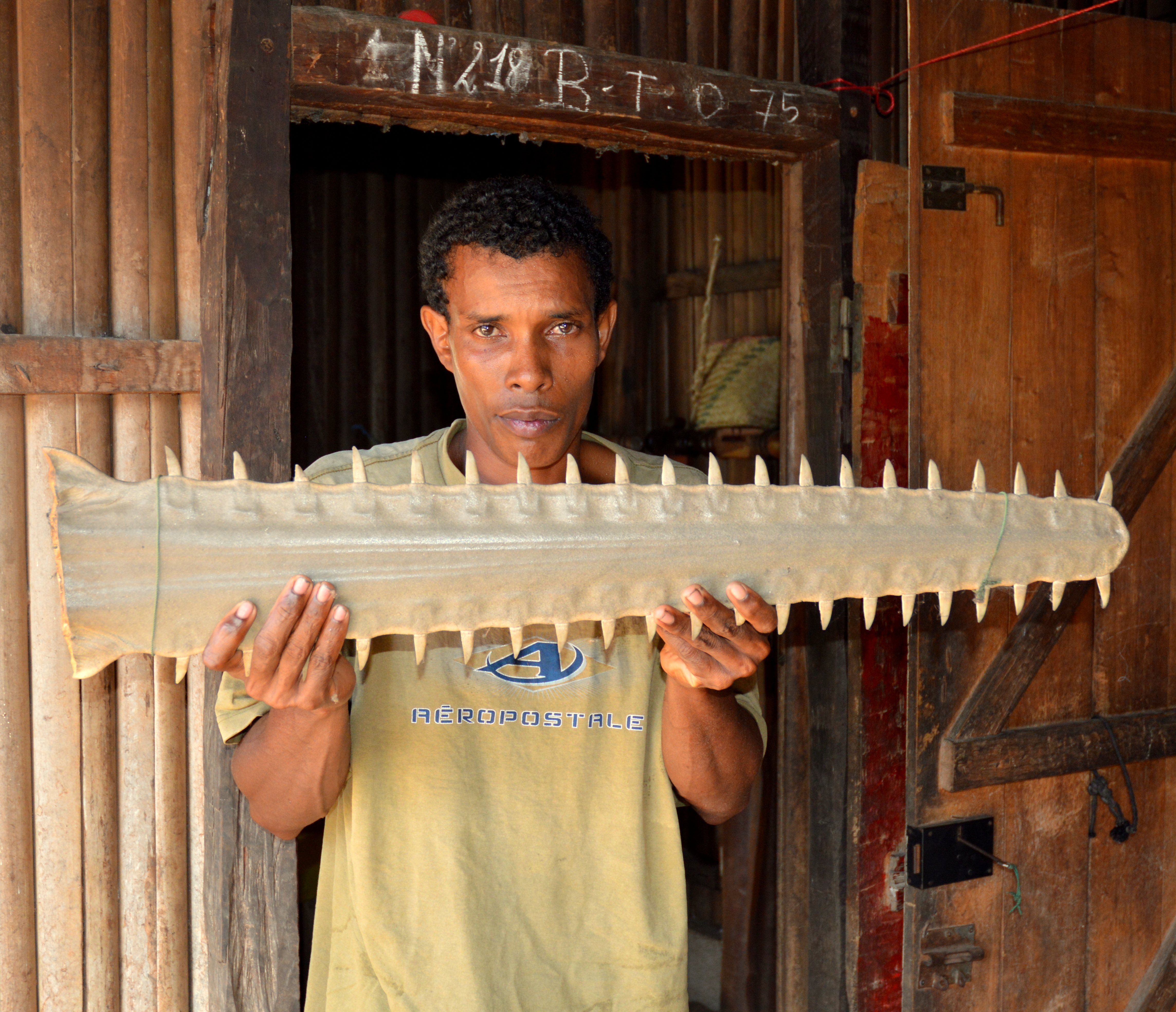 I visited Analalava (which means 'long forest'), at the mouth of Narinda Bay, this week. Several fishermen around Ambanja had told me that they used to catch many sawfish in Narinda Bay. There are many shark fishers there, but they told me that sawfishes are rarely caught any more. This rostrum, in a fisherman's house, came from a largetooth sawfish caught around 10 years ago, in Ramanetaka Bay.