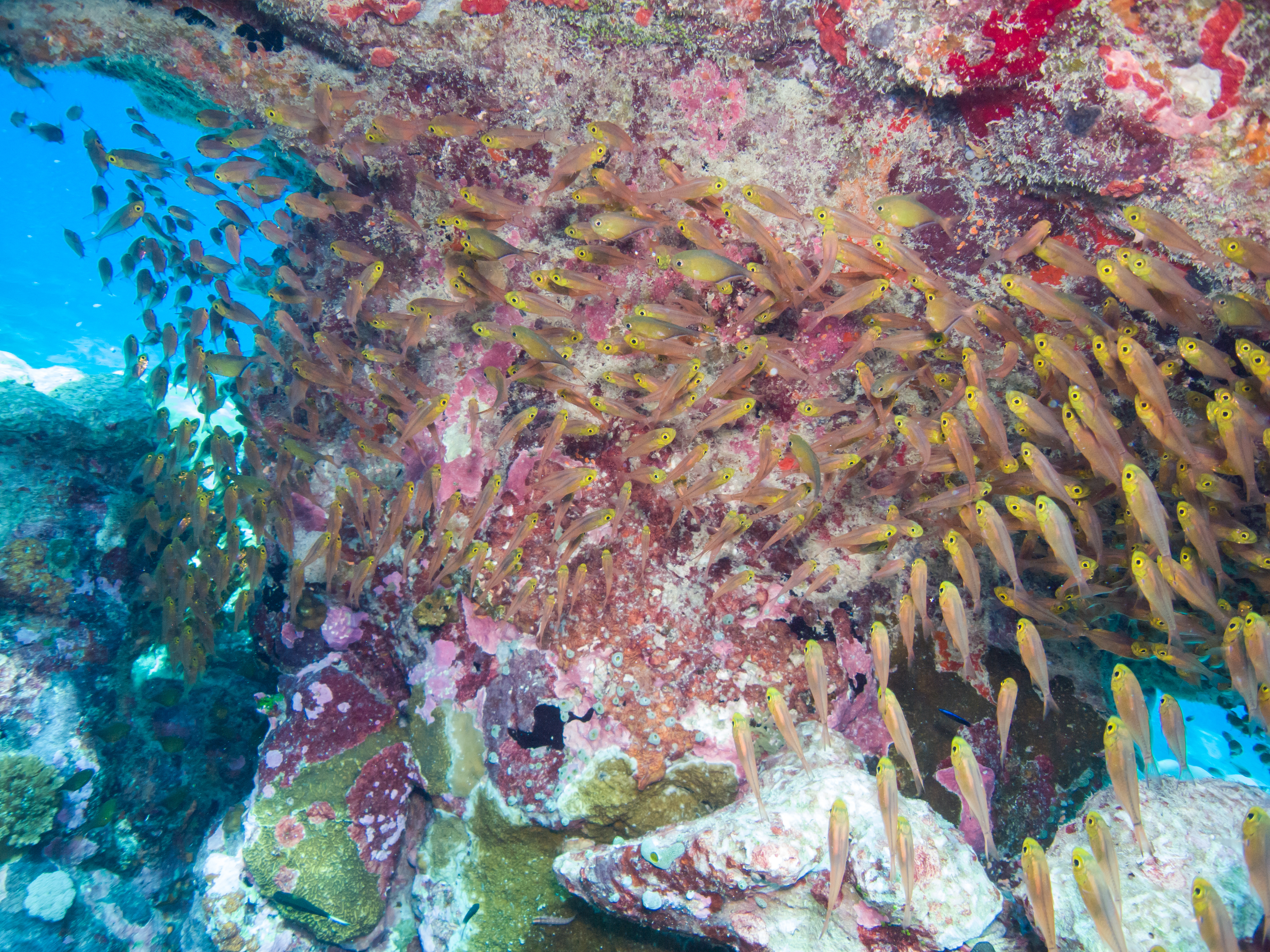 Pygmy sweepers schooling under a table coral that is covered with crustose algae at a reef in Chagos Marine Reserve.