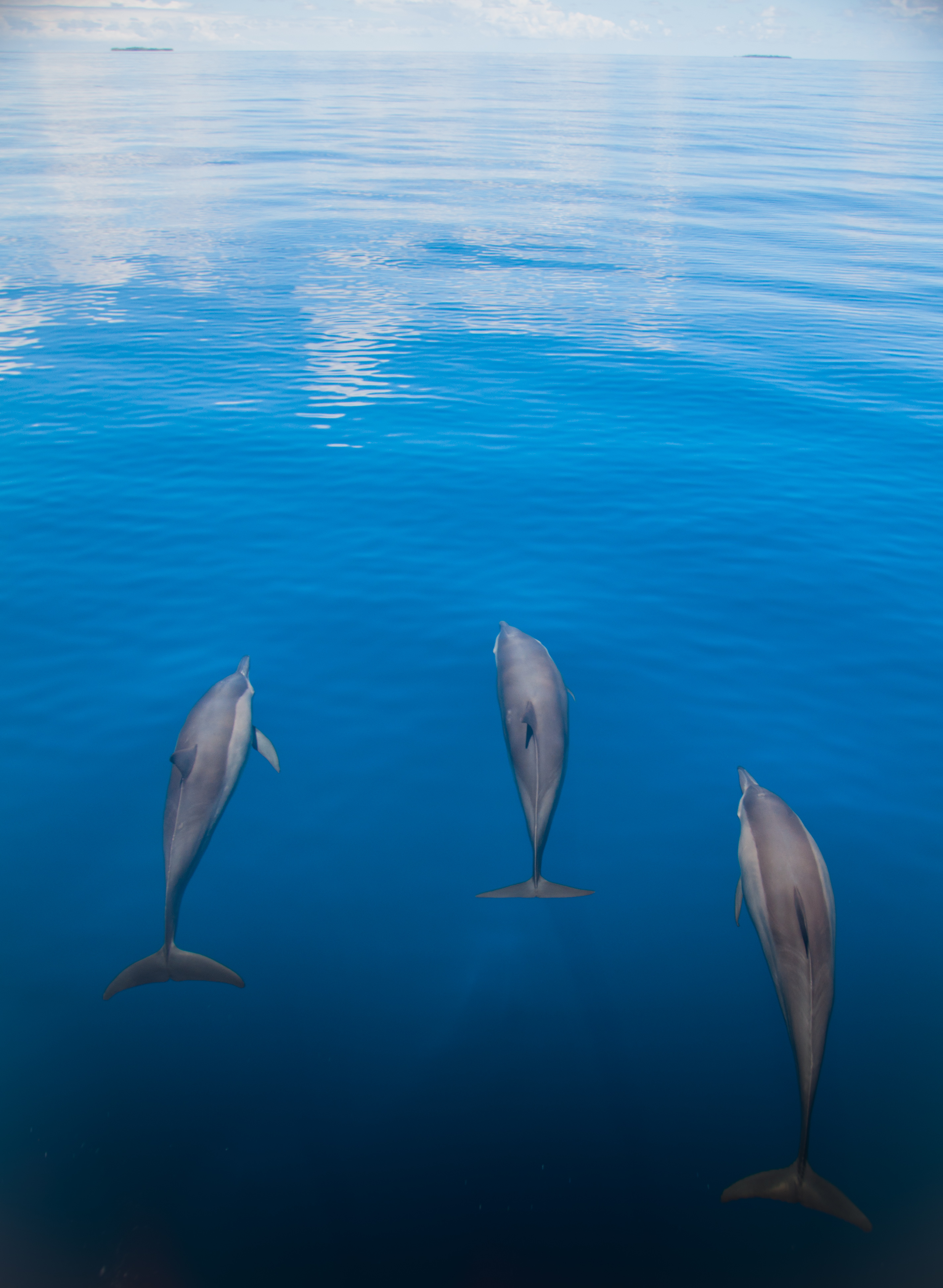 Dolphins ride the bough wave ahead of a research vessel at Chagos Marine Reserve.