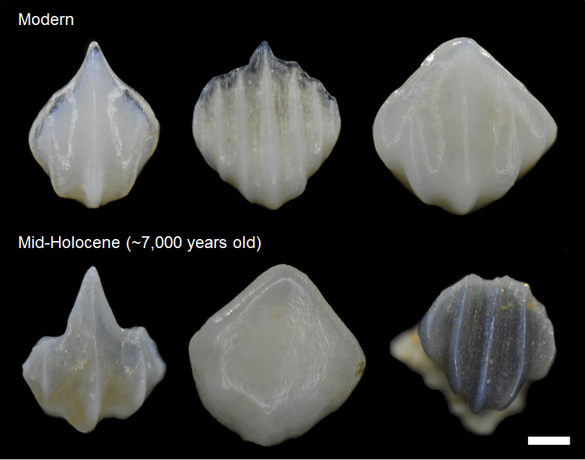 Light microscope images (80x magnification) of denticles extracted from modern and 7,000-year-old reef sediment in Bocas del Toro, Panama, showing the range of morphologies present and the high degree of preservation. Scale bar = 100µm.