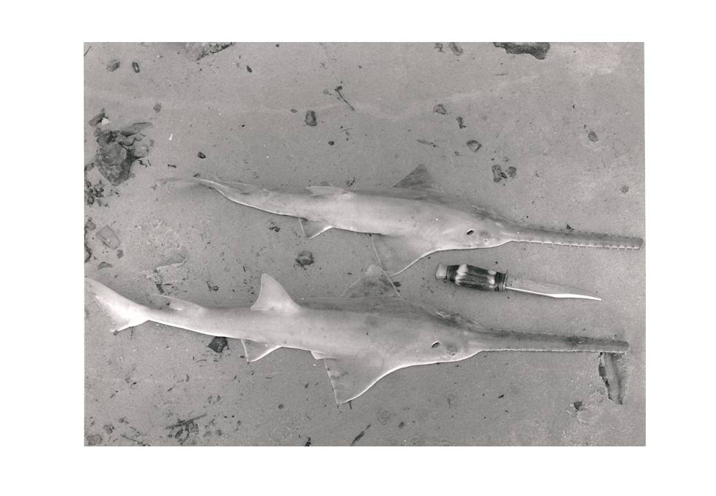 Juvenile largetooth sawfishes caught in The Gambia in the 1970s.