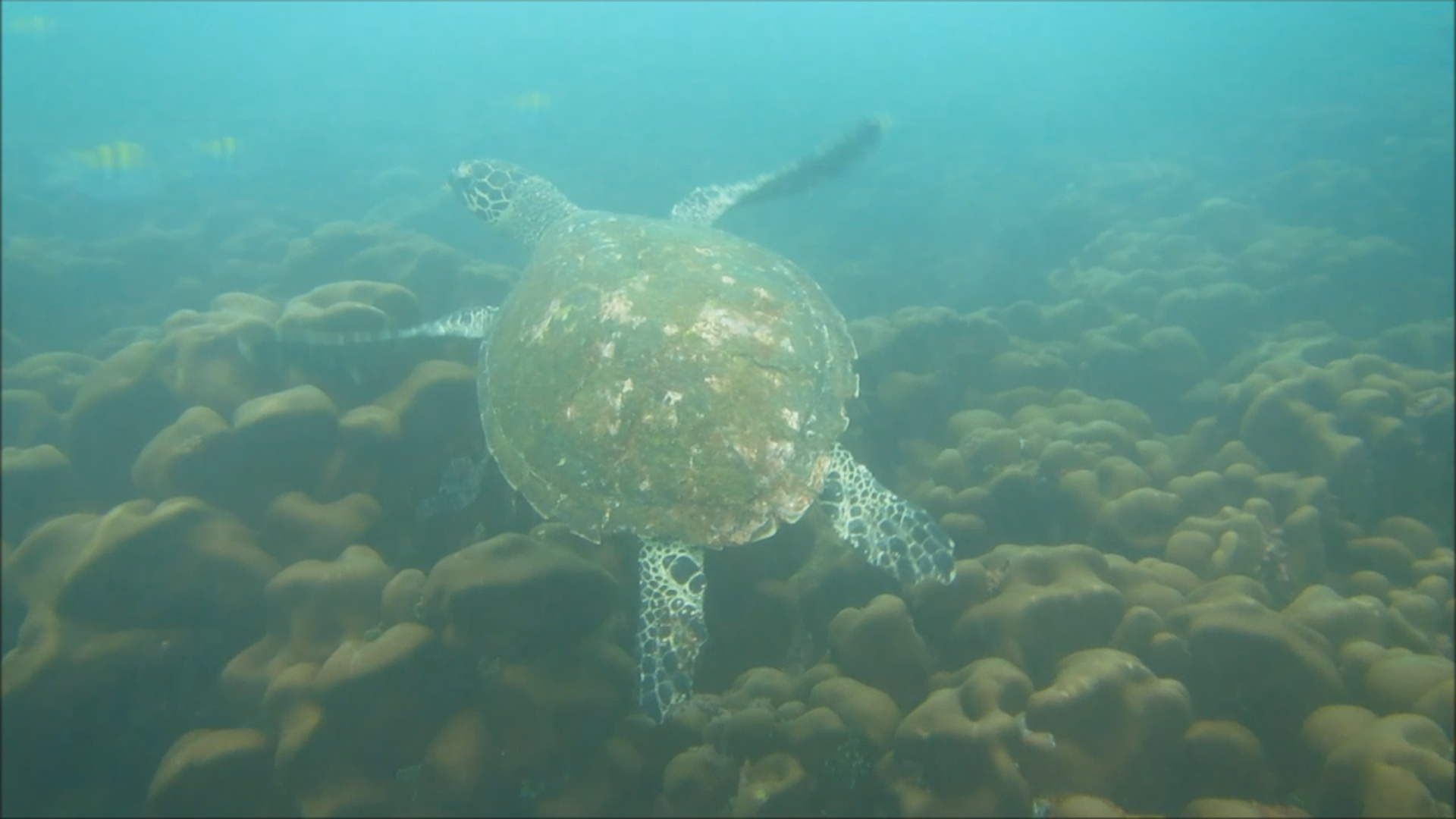 A sea turtle at Machalilla National Park, Ecuador.