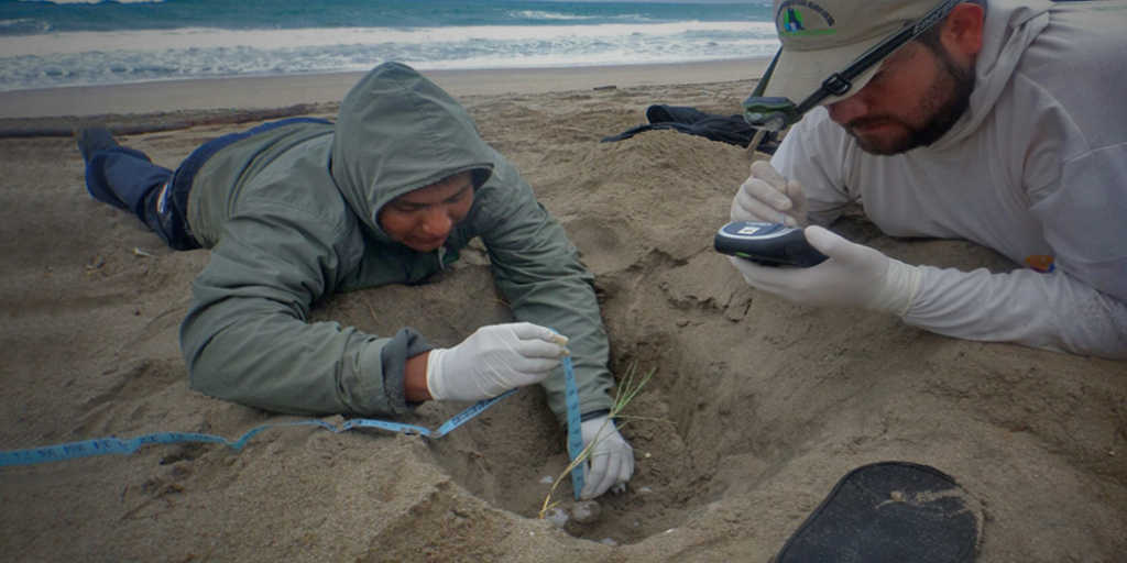 A park ranger and a scientist measuring turtles' eggs.