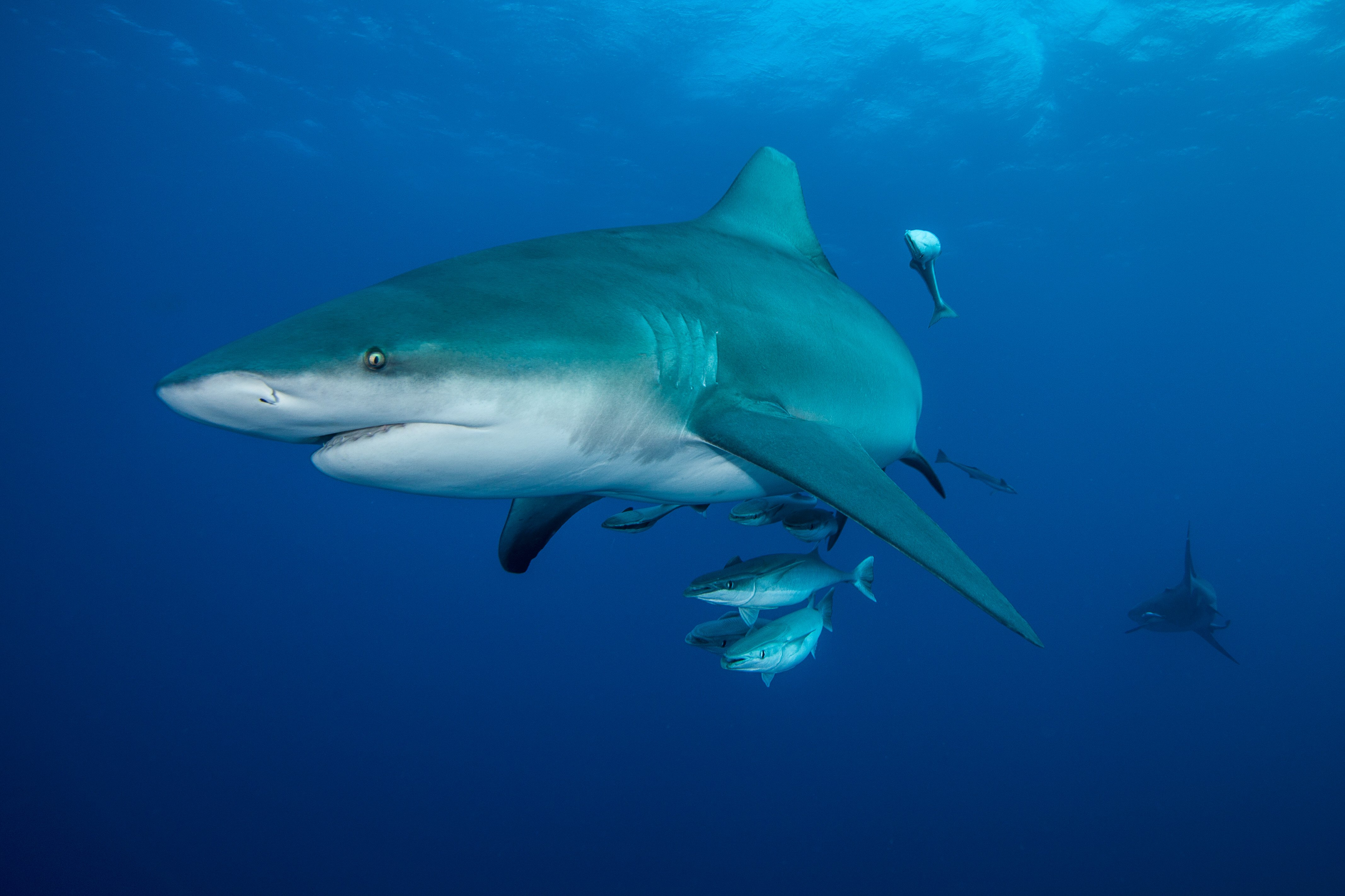 Why Aquariums Never Have Great White Sharks   Readers Digest