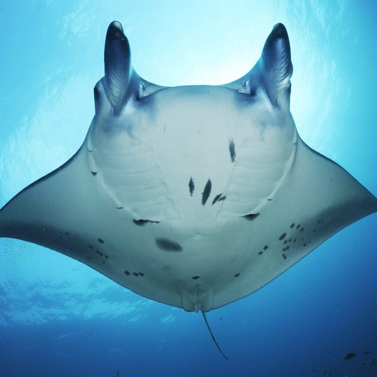 A growing list of countries are beginning to understand the true economic value of manta rays through ecotourism, and the benefits it can bring for impoverished communities Many of the nations that fished mantas heavily, including Indonesia, have now turned their stance towards protecting these animals in their waters Manta Trust scientists are using a variety of research techniques to uncover more about the lives of these mysterious rays With a better understanding of where they go and why, we can provide sound knowledge that governments and communities can use to make more informed conservation management decisions. © Photo by Guy Stevens | Manta Trust