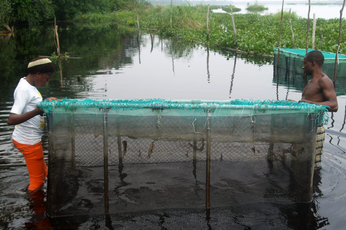 A completed fish cage in installed at Lekki Lagoon, Nigeria as part of a program to teach catfish aquaculture to former manatee hunters in exchange for them giving up hunting.