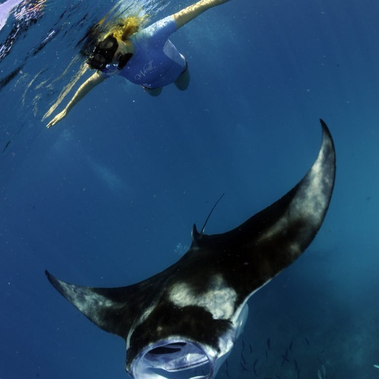 Fortunately mantas have a 'ray of hope' in the ecotourism industry Thousands of divers and snorkelers are willing to pay large sums of money for the chance to swim alongside these majestic animals, meaning that mantas are worth far more alive than dead A recent study estimated that the global value of the manta ray-watching industry totals US$140-million per year!. © Photo by Guy Stevens | Manta Trust