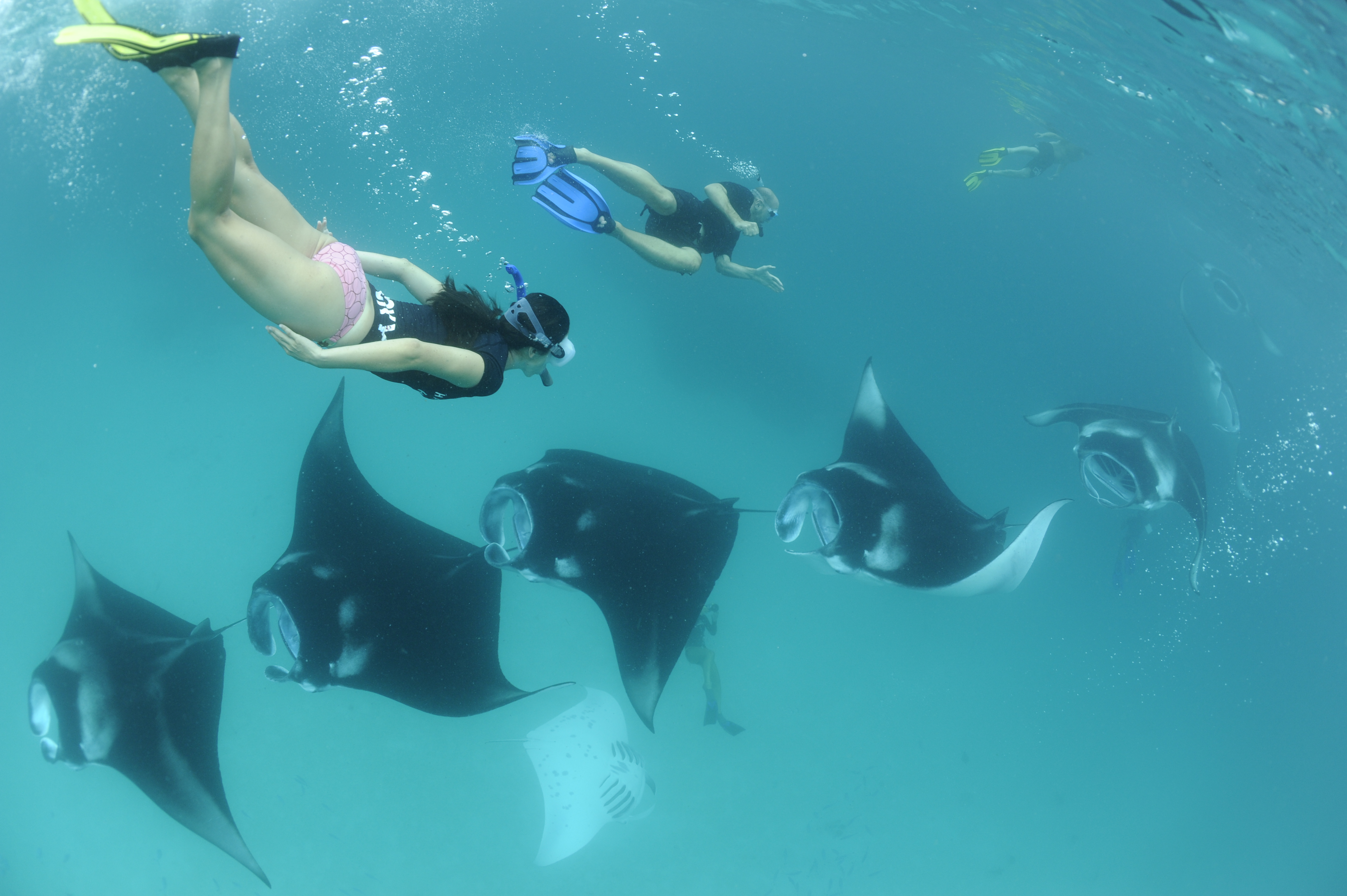 ray, manta ray, marine, science, snorkelling with a manta, nature