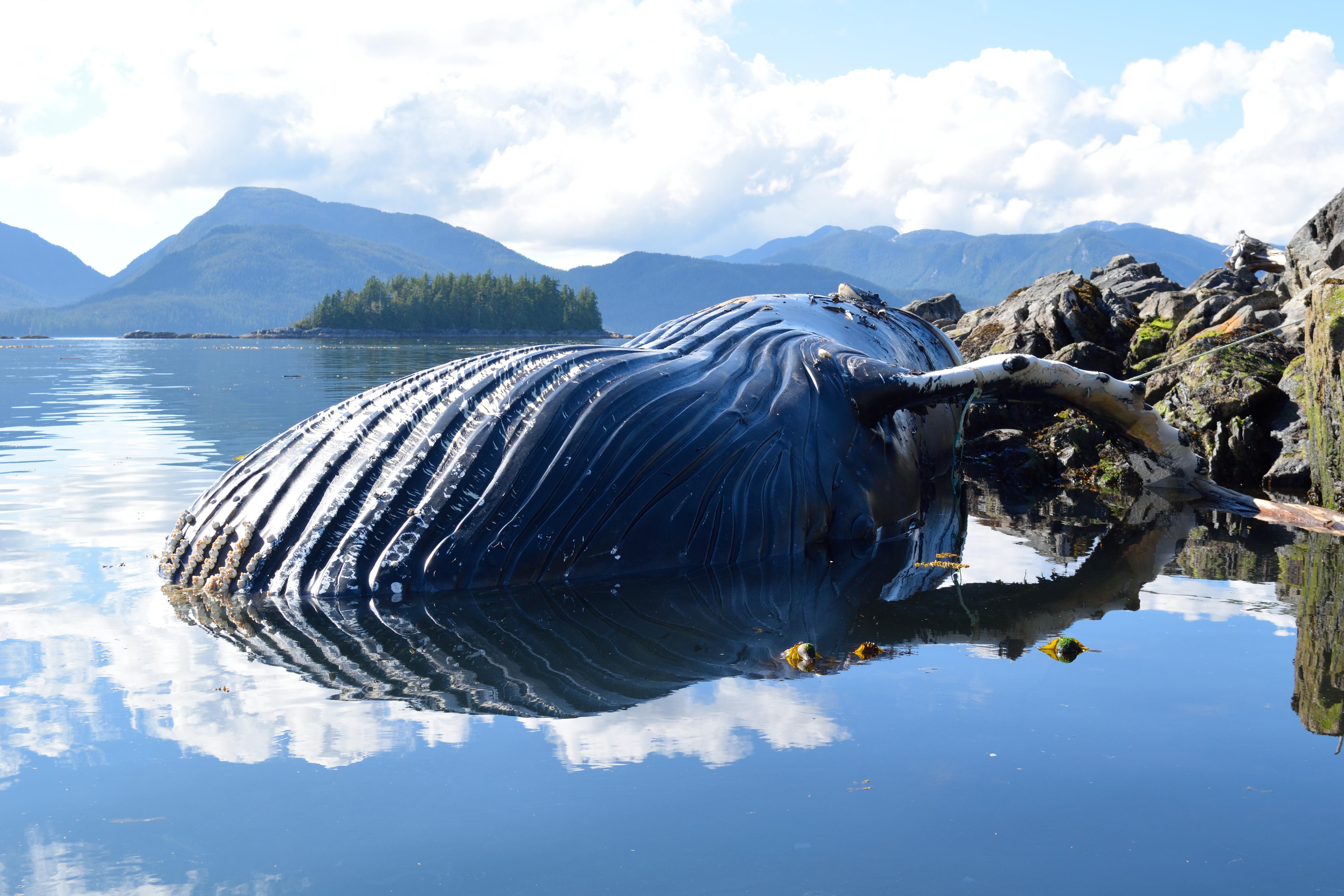 A dead humpback whale found this summer near Klemtu in British Columbia.