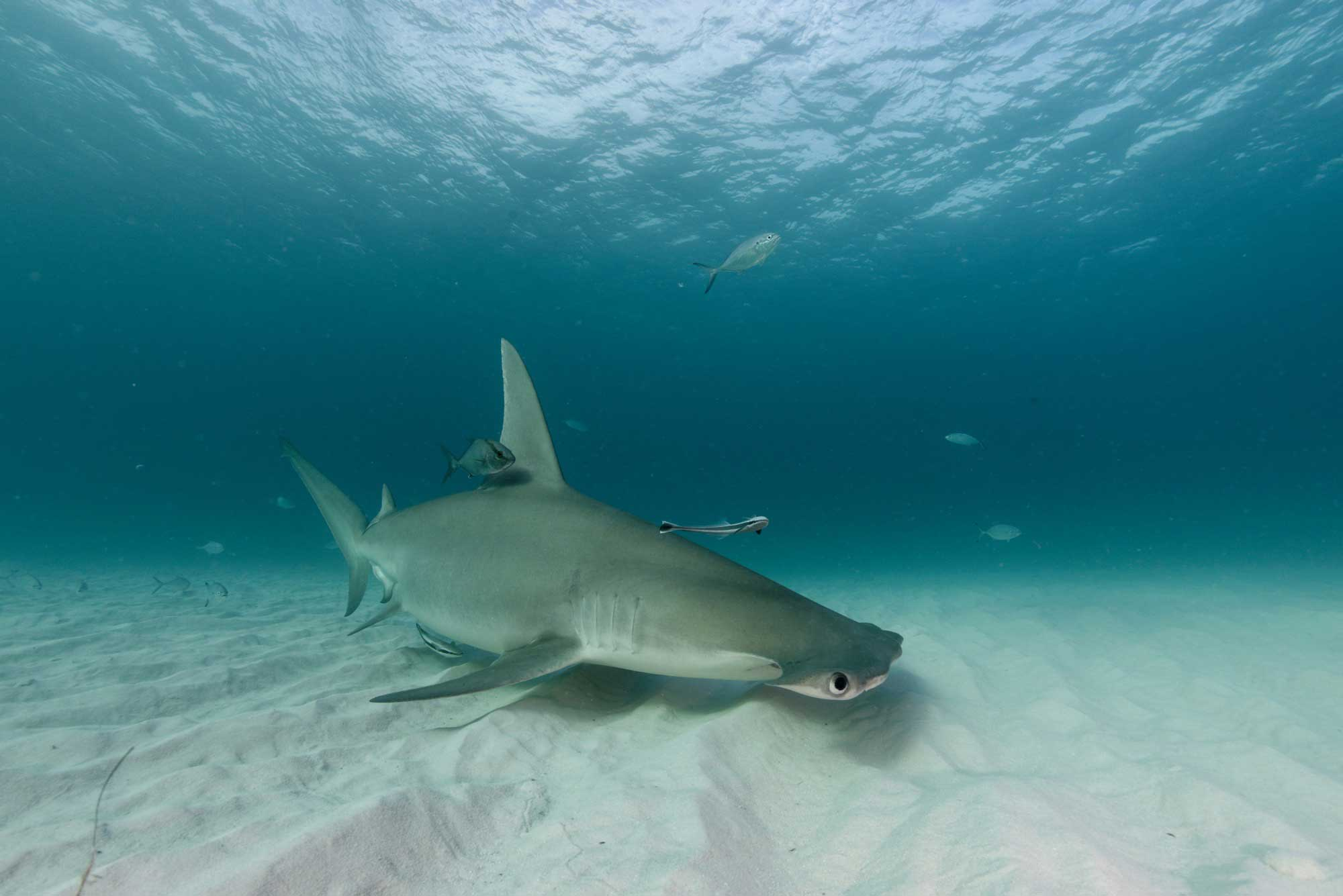hammerhead pitstop save our seas foundation
