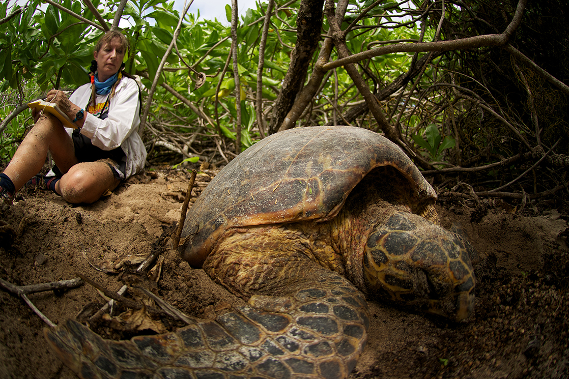 Jeanne observes a nesting hawksbill at D'Arros Island. Photo by Rainer van Brandis | © Save Our Seas Foundation.