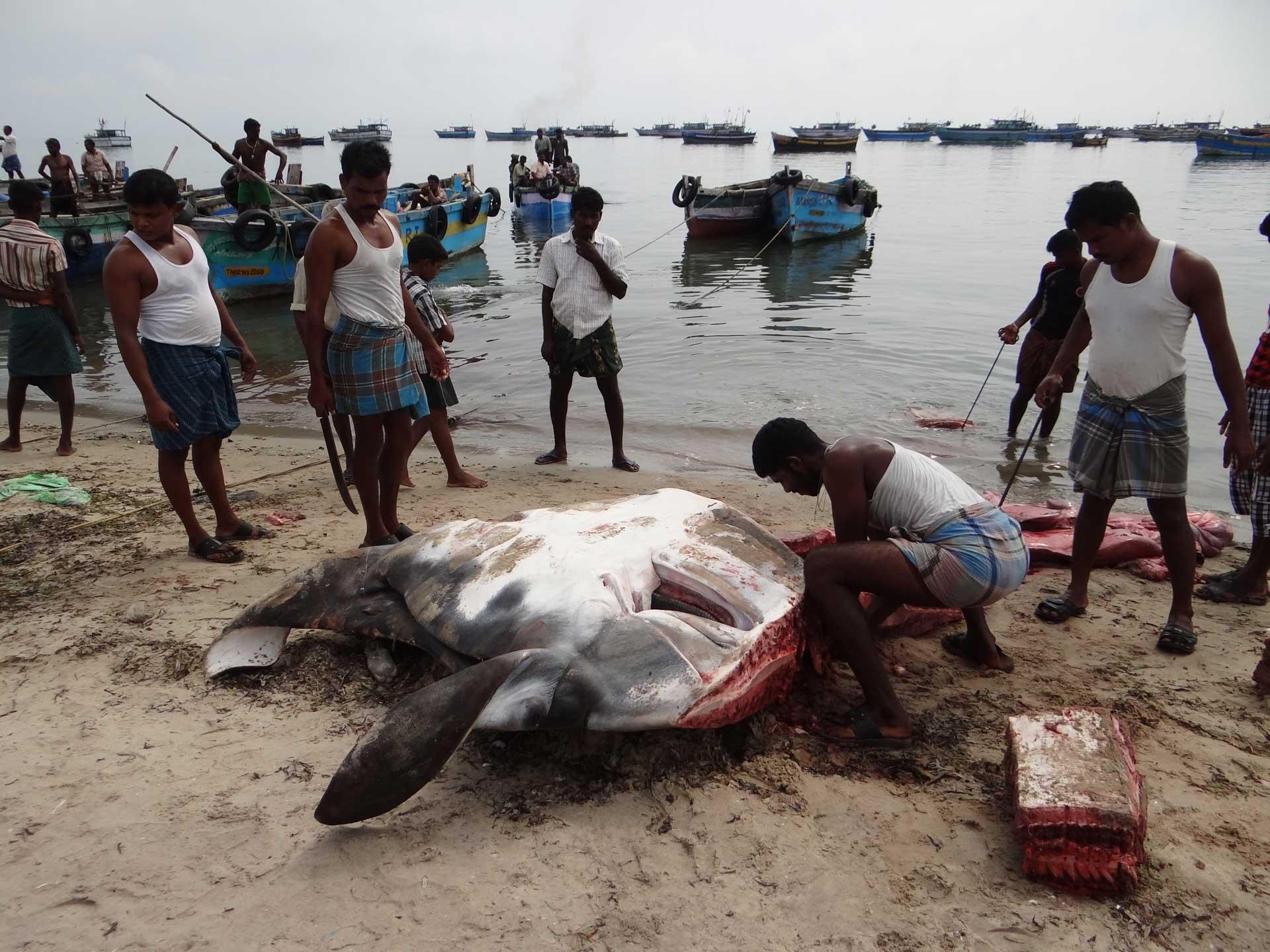 THEIVASINGAMANImohanraj - Mobulid fishery in India