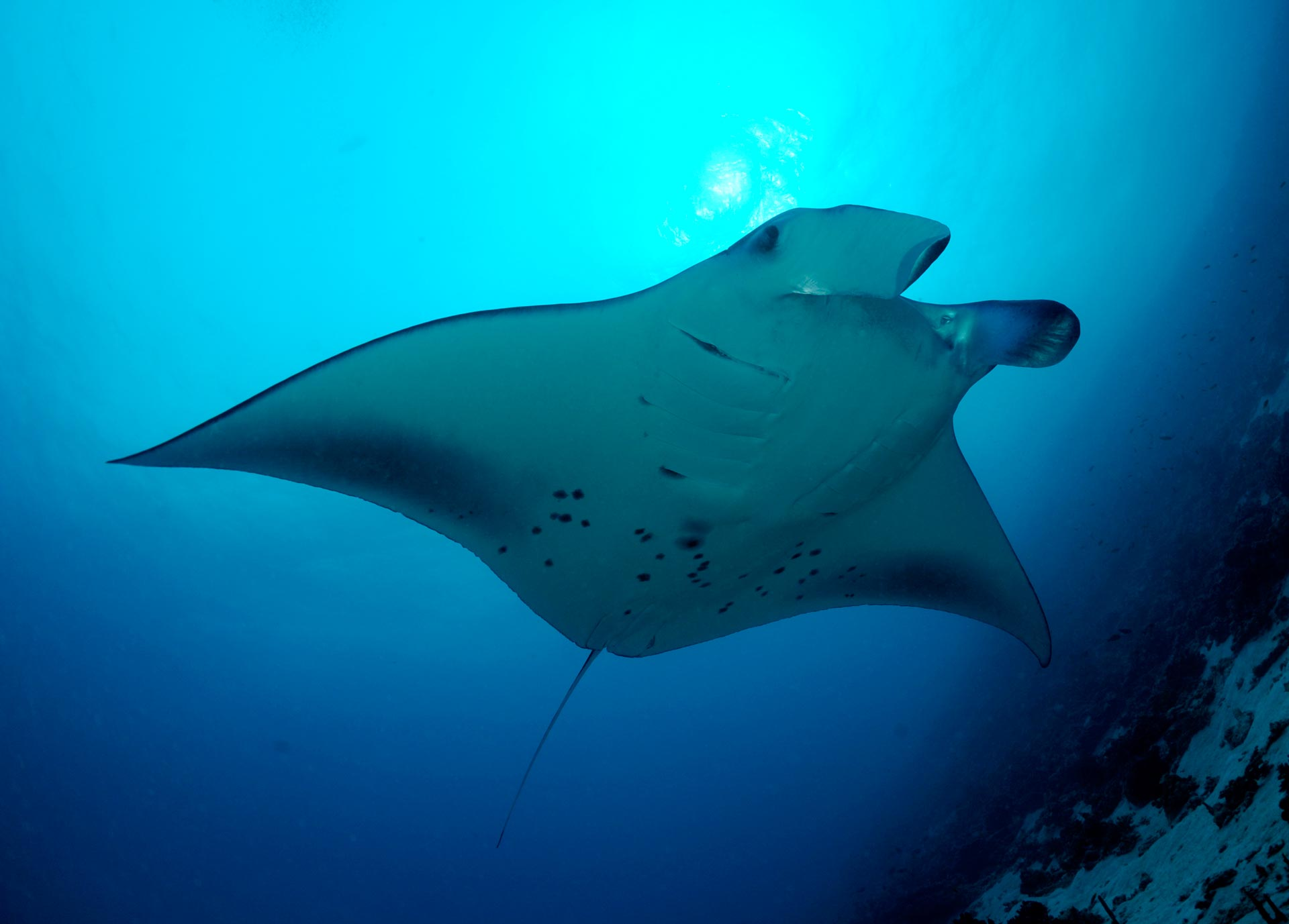 Mysterious Manta Movements
